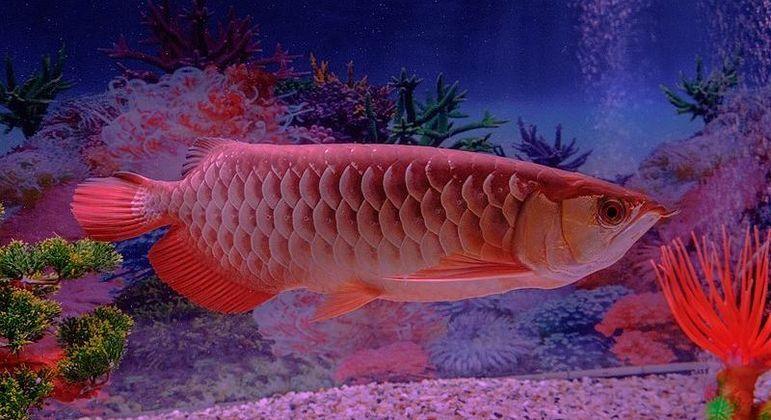 Esse peixinho aí é o pet aquático mais caro que existe - A2ZPHOTOGRAPHY/WIKIMEDIA COMMONS