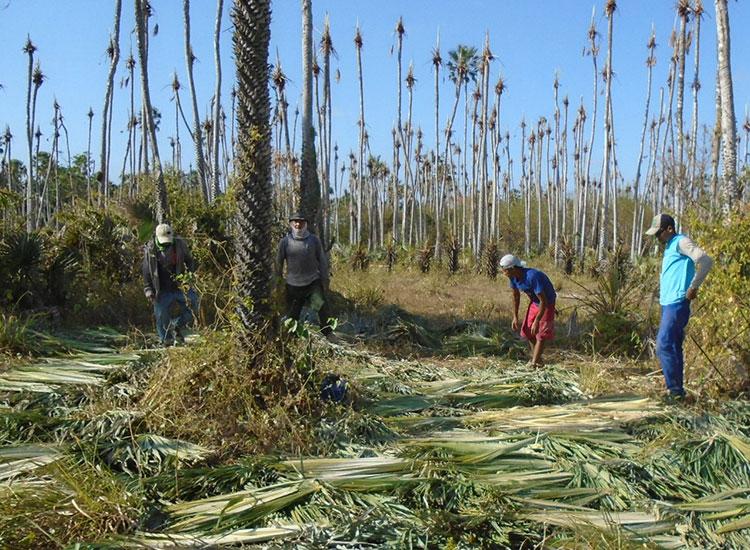 Ministério Público aponta trabalho escravo em extração de carnaúba na região de Oeiras