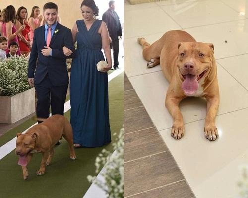 Pitbull invade igreja e vira atração em casamento em Teresina