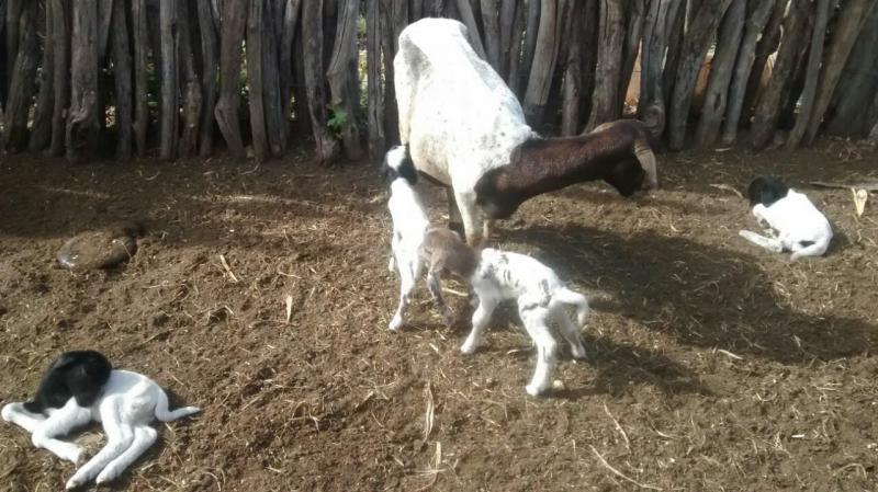 Ovelha da luz a 04 filhotes de uma só vez no Piaui