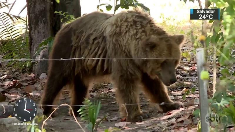 Governo do Piauí analisa transferência da ursa Marsha